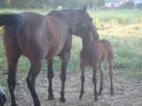 I have blue and bay roan fillies and colts available.