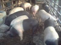 Fat hogs,180 to 240 lbs great for smoker or