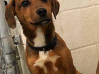 Rocco (2243) is a 4 month old, neutered male, Hound /