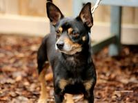 Rocco is a very handsome 3-year-old Chihuahua Mix.  He