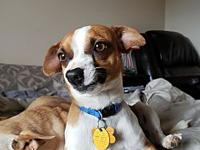 Rocco's story Rocco is a 1 year old Jack Russell mix!