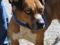 This is Rocco.  Rocco is a gorgeous male Boxer mix