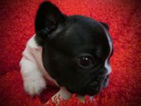 Rocket is a healthy active friendly French Bulldog. He