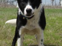 Rocket is a 1 y/o male Border Collie mix, heart worm