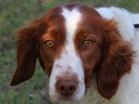 Howdy, yall, my name is Rocket. Im an awesome Brittany