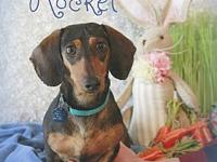 Rocket's story Rocket is a 2 year old male Dachshund