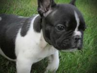 Rocket Man is a healthy active friendly French Bulldog.