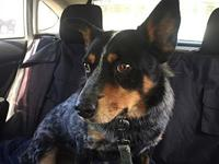 Rocket's story Rocket is a heeler that comes to us from
