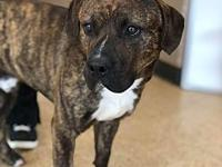 rocky's story rocky pit hound mix 1 years old male