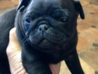 CKC black male pug puppy.Shots and worming as much as