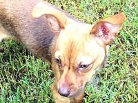 Rocky's story Rocky is a male tan Chihuahua mix, born