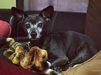 Rocky's story Rocky is an 11 year old Chiweenie looking