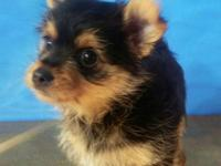 Call  ask for Lynda. Wonderful yorkie--prom .looks like