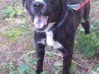 Rocky is a 2-3 year old mixed breed, who is about 65-70