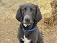 Rocky is a 2 1/2 year old Black Labrador/Hound mix.  He
