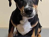 This cute guy is Rocky, a male Rottweiler mix puppy.