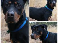 Rocky is a coonhound/rottweiler mix that is a little