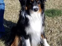 Rodeo....Male Mini Aussie, 1 year old. Owner