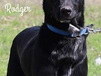 Rodger's story Rodger Lab mix Approx age, 4yrs., Male