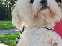 My story Roger is a handsome poodle mix who is about