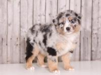 Rogue is a lovely, blue merle, Australian Shepherd!!!