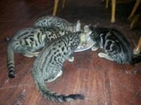 I have 3 Bengal kittens one marbled lady and 2 spotted