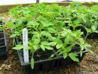 Roma Tomato and Large Red Cherry Tomato Plants $.25 a
