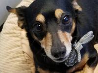 Roman is an 8-year-old, Min Pin mix, rescued from