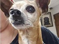 Romeo's story Romeo is a beautiful male Chihuahua that