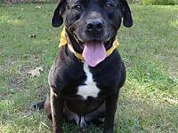 Romeo's story Romeo is a big black Labrador mix that is