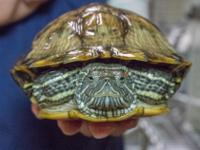 Romeo is a beautiful, healthy Red Eared Slider that