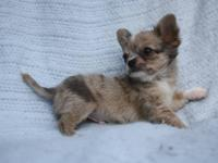 Romeo is a beautiful longcoat apple head chihuahua boy.