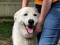 Ronin's story Description: Ronin is a Great Pyrenees