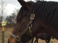 Roo is a 6 year old bay Thoroughbred gelding about