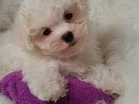 "Meet ""Roofy"" he is a handsome CKC registered Maltese"