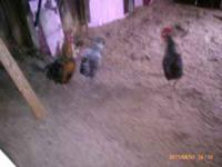 3 Roosters for sale .Raised in a clean and healthy