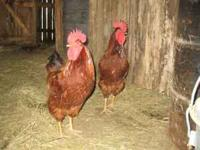 i have 3 roosters for sale grain &corn fed call