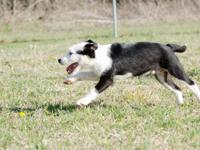 Rootie is a 3 month old male Border Collie mix, a wire