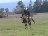 THIS A VERY GREAT REG AQHA GELDING REG NAME: JESS SONOF