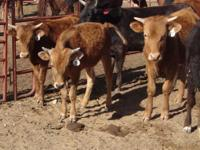 Yearling corriente steers --- NEVER BEEN ROPED. 3