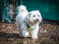 Rory is an 8 year old Havanese weighing 22lb, owner