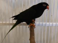 Rory is a beautiful little Stella's Lorikeet, or Papuan