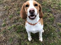 Hi Im Roscoe! Im a 16 month old Beagle searching for my