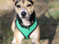 Roscoe is a 15 month old chihuahua rat terrier mix with