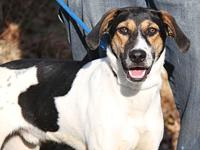Roscoe's story This handsome 2-year old male Hound mix