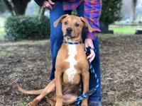 Meet Roscoe, a 5-month-old, 30lb, brown dog mix! We