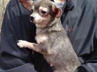 Rose is a sweet Chihuahua. She is 16 months old. Rose