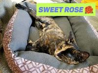 Rose's story Sweet Rose is one of five little tortie