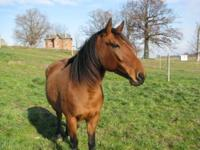 Rose is a 14hh Standardbred/Haflinger Cross mare. She