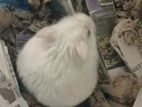 Rose is a beautiful white hamster with grapefruit pink